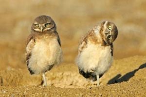tilty-head owls
