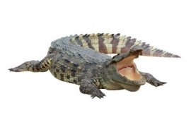 crocodile-on-white-background