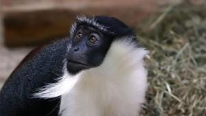 Roloway-Monkey
